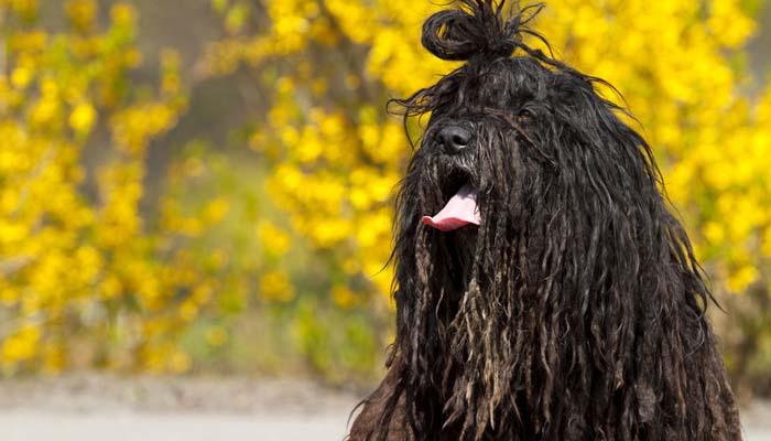 Bergamasco hypoallergenic dog