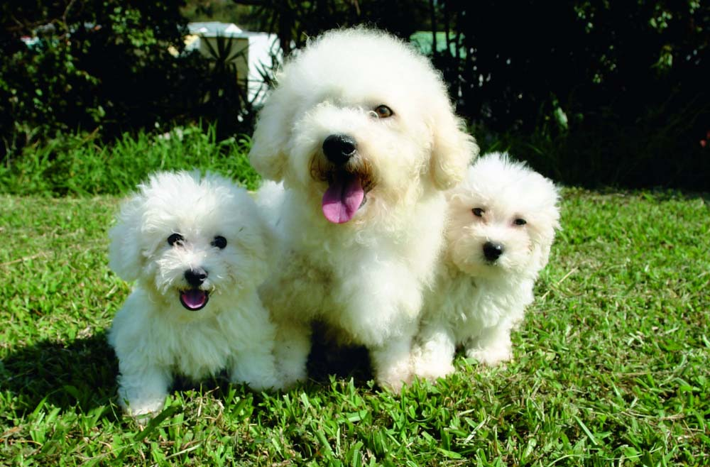 Bichon Frise as Top 10 Cute Dog Breeds