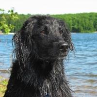 best dog for kids - newfoundland