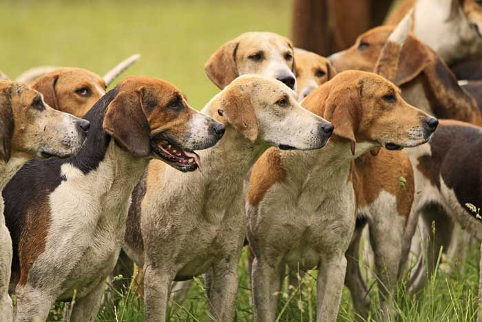 American Foxhound - Best Hunting Dog