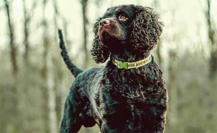 American Water Spaniel - Best Hunting Dog