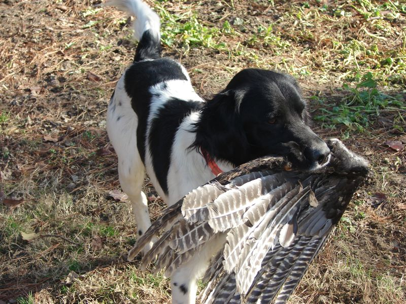 Appalachian Turkey Dog - Best Hunting Dogs