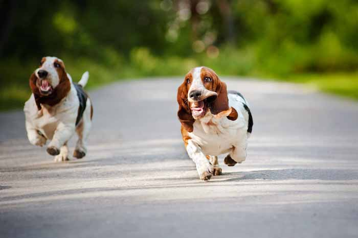 Best Small Dogs for Kids Basset Hound