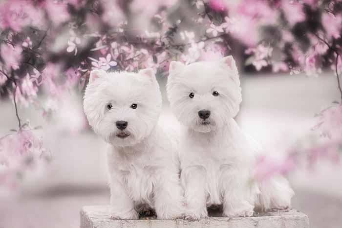 Best Small Dogs for Kids Bichon Frise