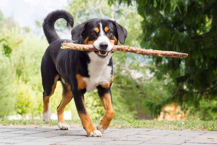 Best Small Dogs for Kids Entlebucher Mountain Dog