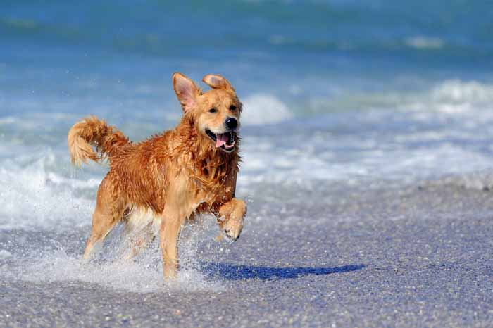 Best Small Dogs for Kids Golden Retriever