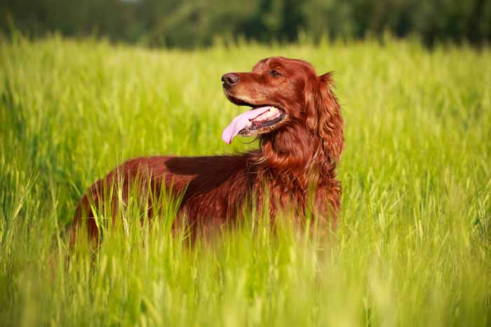 Best Small Dogs for Kids Irish Setter
