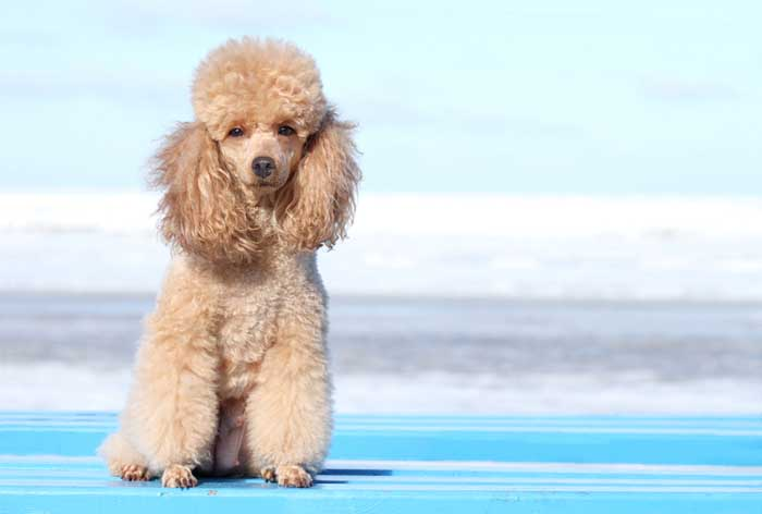 Best Small Dogs for Kids Miniature Poodle