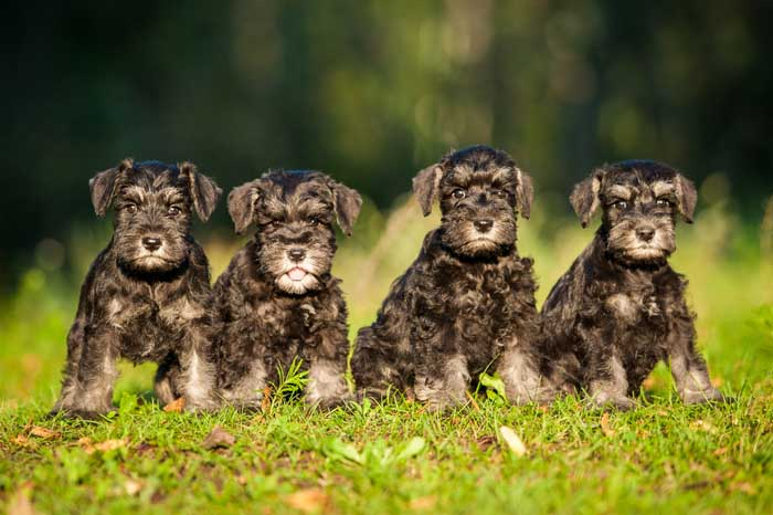 Best Small Dogs for Kids Miniature Schnauzer