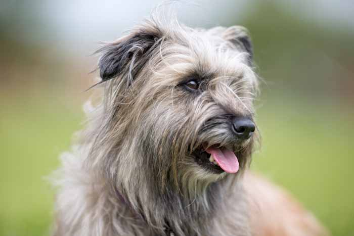 Best Small Dogs for Kids Pyrenean Shepherd