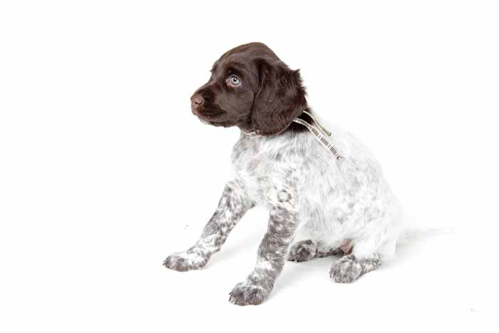 Best Small Dogs for Kids Small Munsterlander Pointer