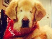 Blind Golden Retriever Lands Unbelievable Job