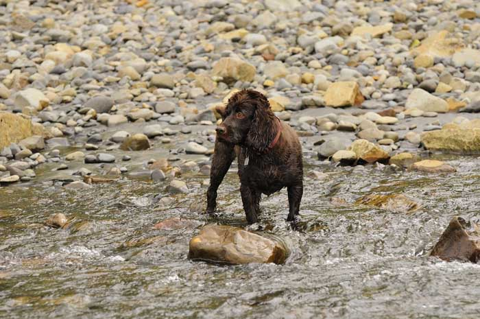 Boykin Spaniel - Best Hunting Dog
