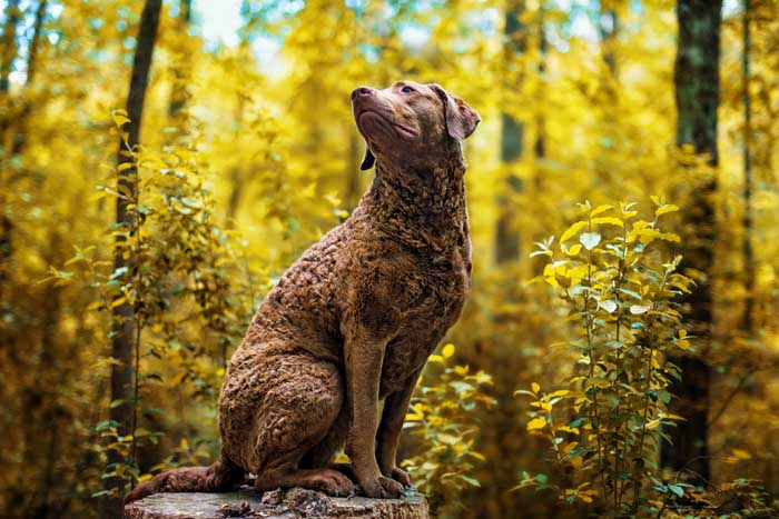 Chesapeake Bay Retriever - Best Hunting Dog