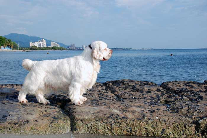 Clumber Spaniel - Best Hunting Dog
