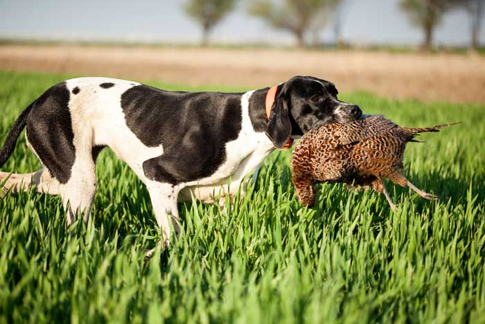 English Pointer - Best Hunting Dog