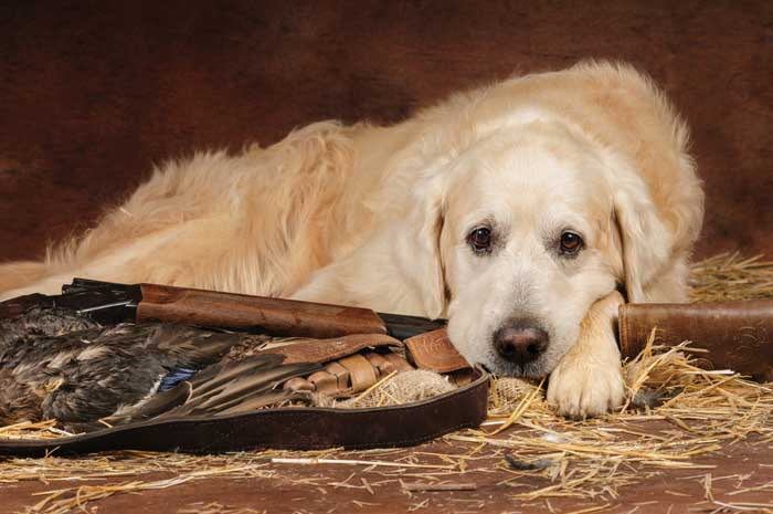 Golden Retriever - Best Hunting Dog
