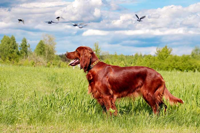 Irish Setter - Best Hunting Dog