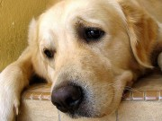 New App Uses Facial Recognition to Return Lost Dogs