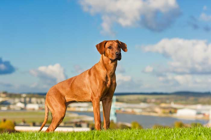 Rhodesian Ridgeback - Best Hunting Dog