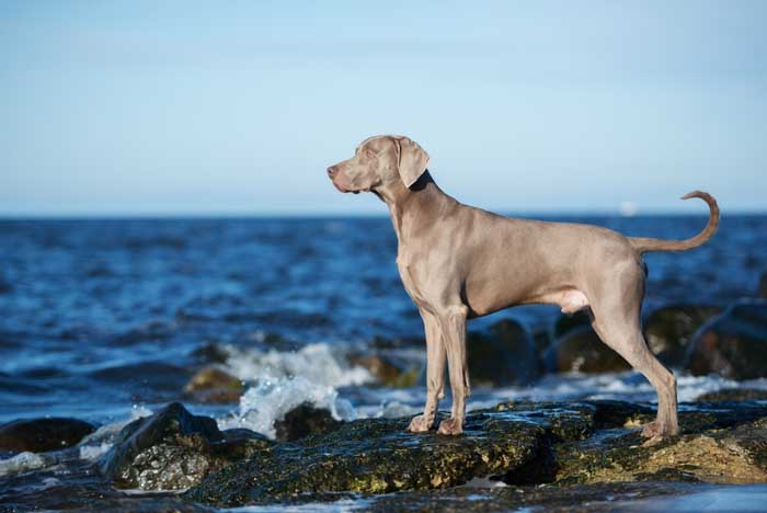 Weimaraner - Best Hunting Dog