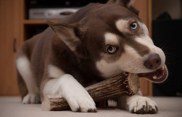 These Naturally Shed Antlers Are a Delicious Treat for Your Dog