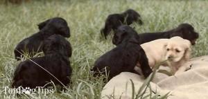 Canine Genetics - How to Make a Dog