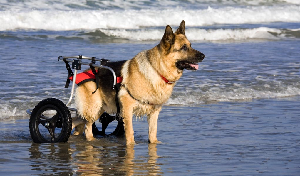 How to Improve Quality of Life for Disabled Dogs – Top Dog ...