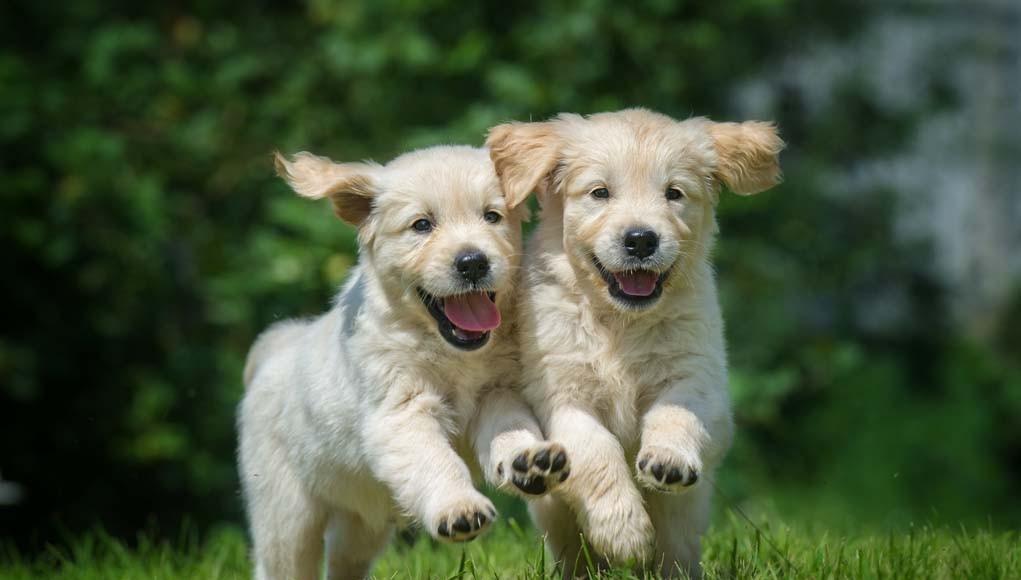 Socializing Puppies