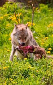 I Gave My Sister A Wolf-DoG Hybrid