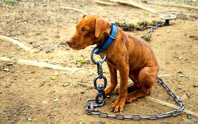 Montreal SPCA Circulating Petition To End Permanent Dog Chaining in the Province