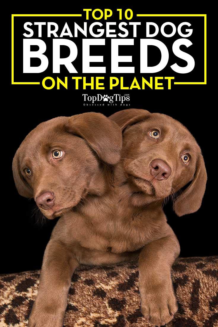 Top Strangest Dog Breeds on the Planet