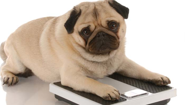 Helping Your Overweight Dog Lose Weight with Diet and Exercise