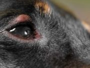Dog Eye Allergies - Symptoms, Causes and Treatments