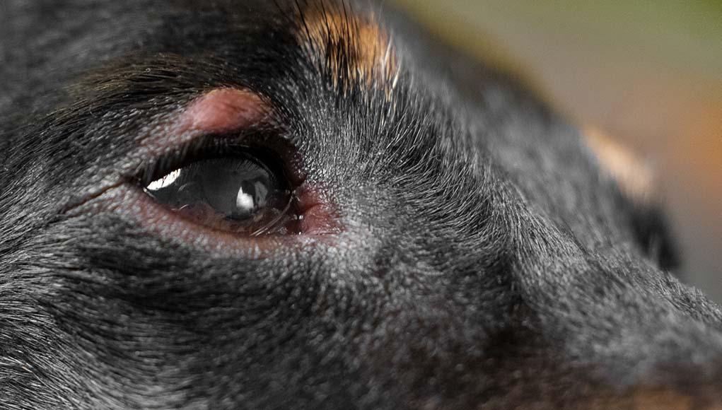 Dog Eye Allergies: Symptoms, Causes and Treatments, Home Remedies