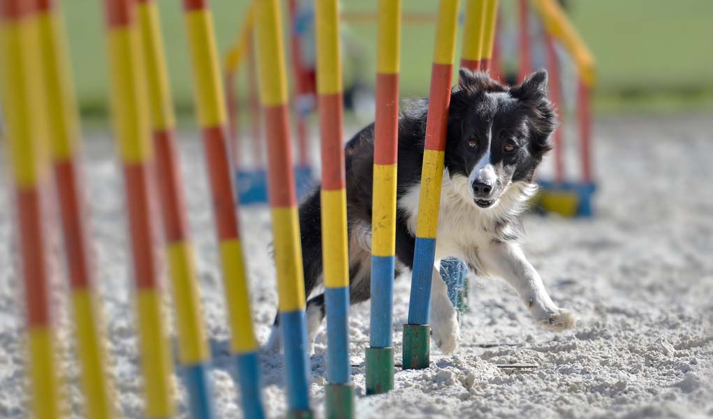 Agility Training For Dogs - The Ultimate Beginners Guide