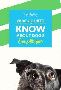 Dog Eye Allergies