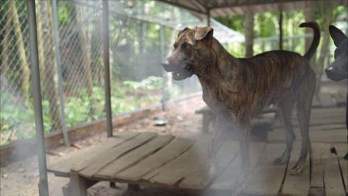 Cambodian Razorback Dog