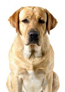 Canine Bloat from Raw Feeding