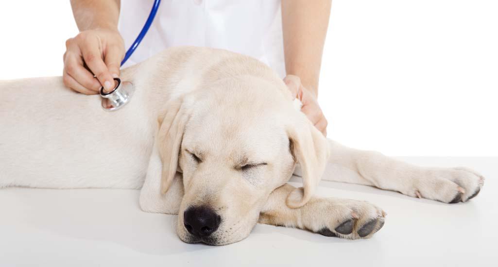 Labrador Retriever General Health and Common Ailments