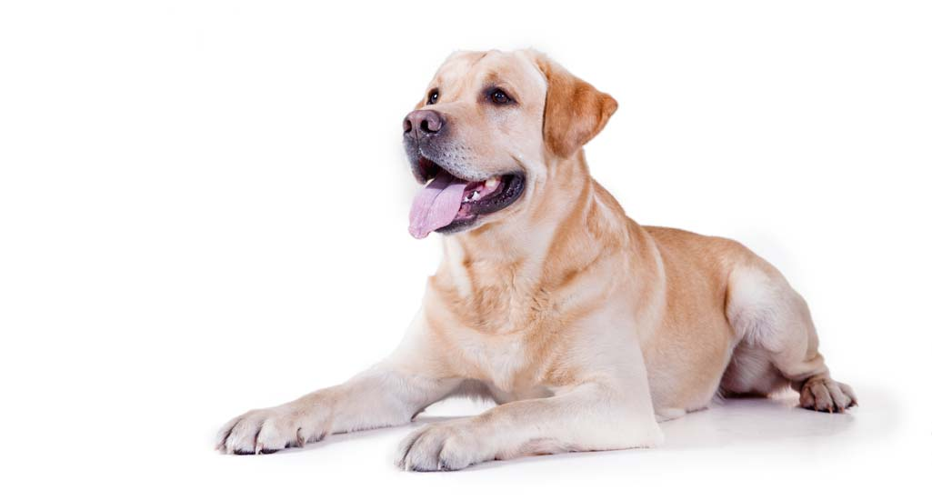 Labrador Retriever Personality and Temperament