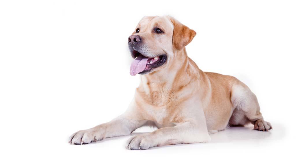 Labrador Retriever Personality and Temperament