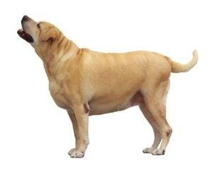Labrador Obesity