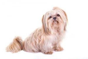 Shih Tzu Breed for First Time Dog Owners
