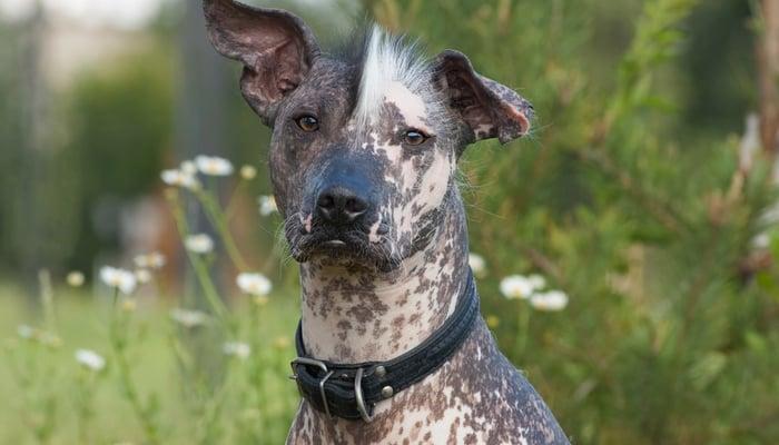 10 Strangest Dog Breeds On The Planet Top Dog Tips