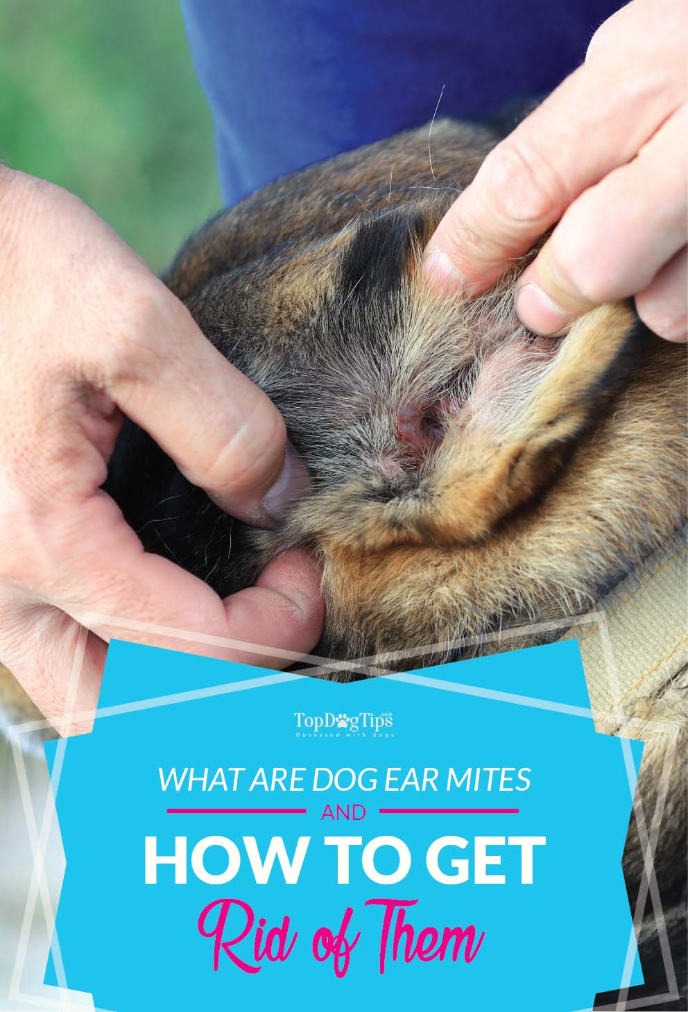 Other treatments for getting rid of mites on dogs include Benzoyl peroxide and injections of insecticides that can be done weekly. Treatment of Ticks on a Dog. Symptoms of mites in the dog's ears include itchy ears, head and ear shaking and a black substance looking like .