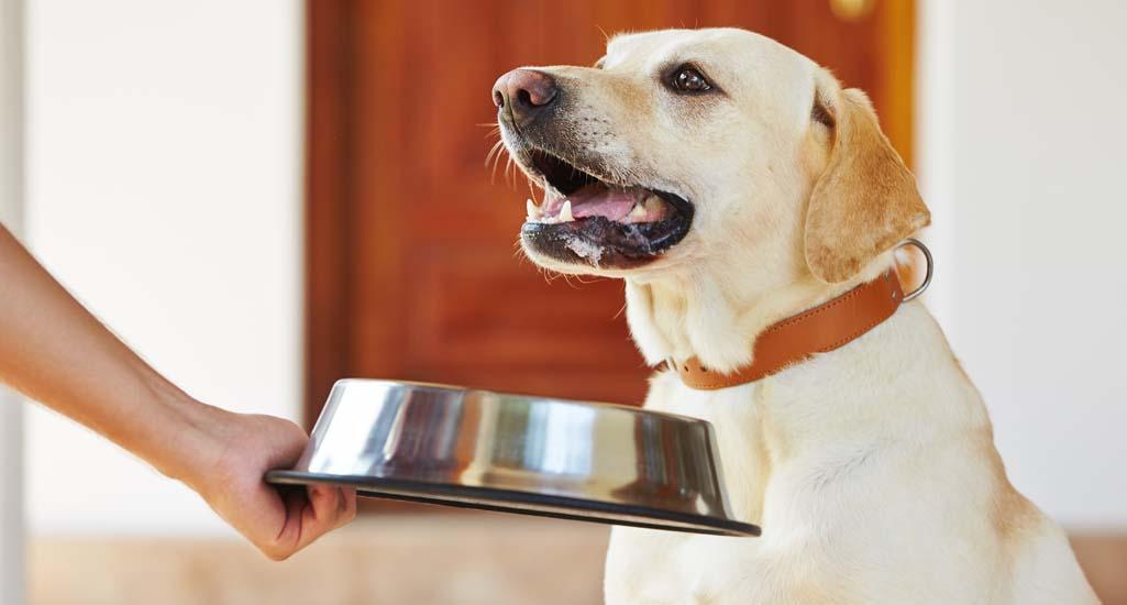 What to Feed Labrador Retrievers