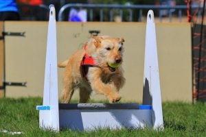 Flyball dog sport