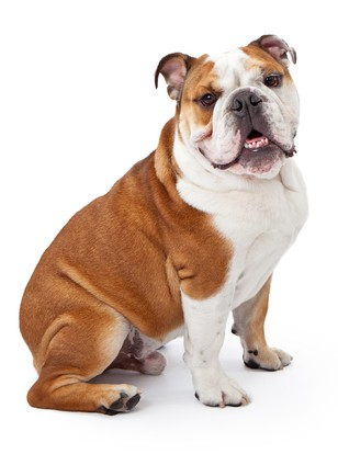 Bulldog Breed Profile