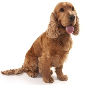 Cocker Spaniel as Small Dog Breeds That Are Good With Kids